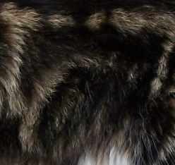maine-coon-manto