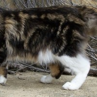 maine-coon-patas