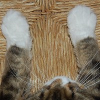 maine-coon-pies