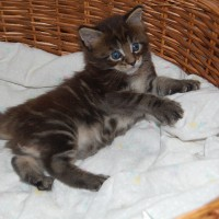 Comprar un gatito