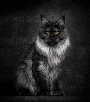 MAINE COON Robert sijka (black silver)