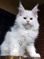 magestic cat