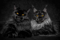 maine coon cat photography robert sijka 33 57ad8ef5a723b  880