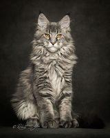 67 Maine Coon Cat Images Robert Sijka 61 720x900