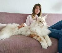 Lotus the Main Coon 0